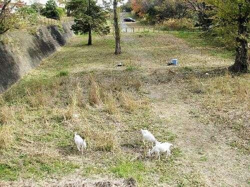 ヤギが団地の雑草を食べつくし任務終了 開始から2ヶ月後のビフォーアフターが凄すぎるwww