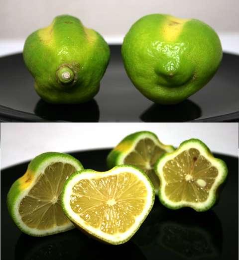「ハート型レモン」の収穫量UP、新たな型枠の開発で大幅に向上