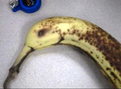 どう見てもカモなバナナが激写されるwww
