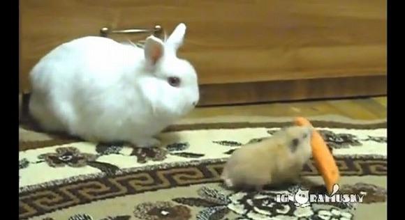 おいまじかよ!ウサギのニンジンを持ち逃げするハムスター それをじ~っと見守るウサギの心境とは…