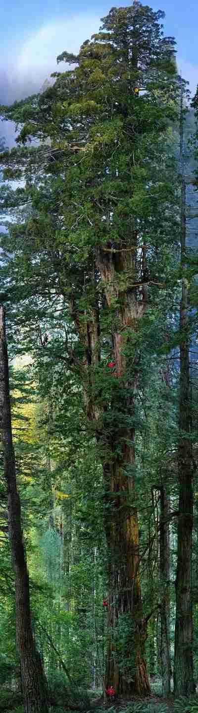 樹齢3,200年、葉の総数なんと20億枚「地球上で2番目に巨大な樹木」が1枚の画像に収められる