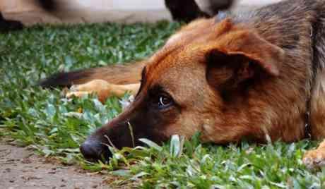 凶暴なため、殺処分の予定だったシェパード犬がガチョウと仲良くなり救われる