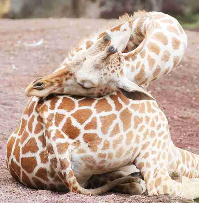 キリンの赤ちゃんの体重測定がかわいい!