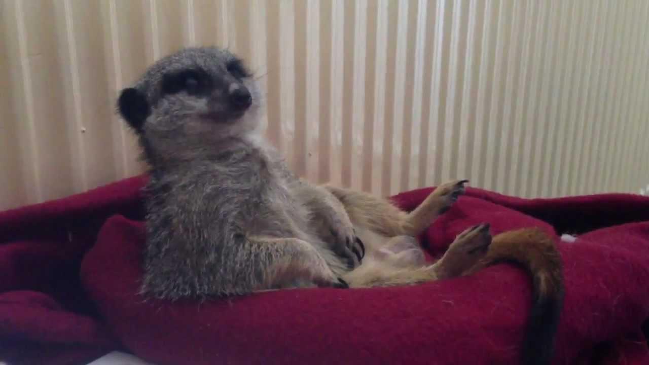 Soori the meerkat nodding off! - YouTube