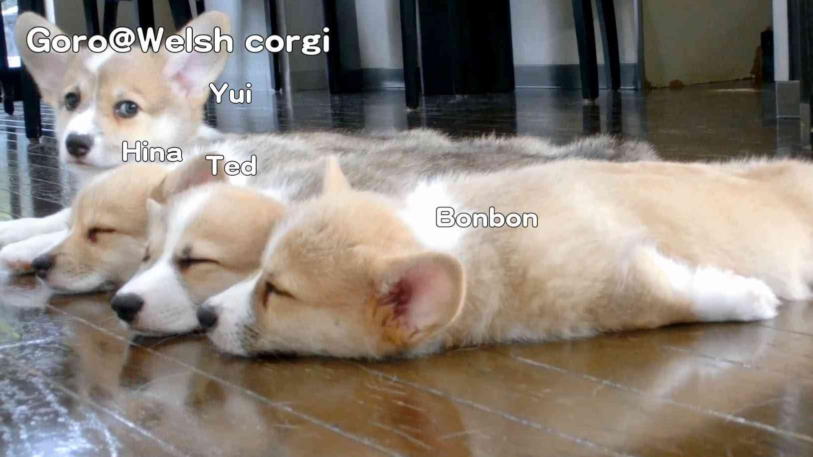 Name of 20130727 Part 14 cute corgi puppies sleep / コーギー子犬 昼寝x3 - YouTube