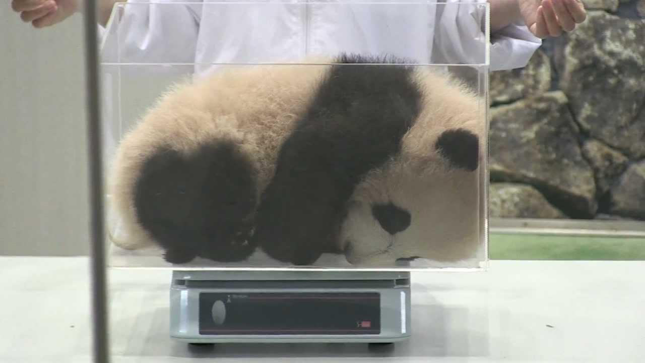 ☆優浜の体重測定☆ 赤ちゃんパンダ アドベンチャーワールド - YouTube