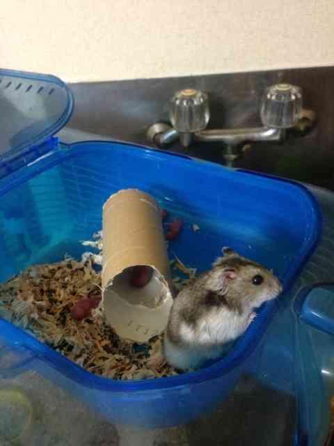 スギちゃん、ハムスターの里親をブログで募集。ネズミ算式に繁殖して手に負えない事態に