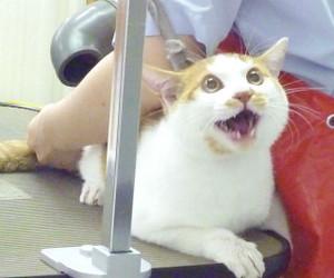 ケツにドライヤーを当てられた瞬間の猫の顔