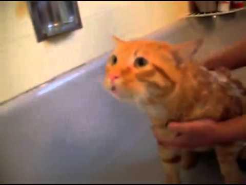 シャンプー で ノー お風呂を嫌がる猫 - YouTube