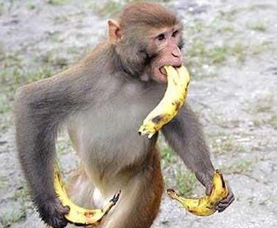 サルにバナナをあげるのは相性が悪いという事が判明www