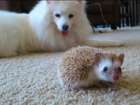 Dog meets Hedgehog - YouTube