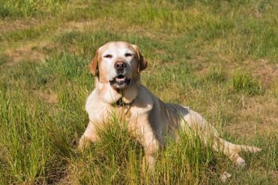 最も人気の犬は23年連続「ラブラドール・レトリバー」―人気犬種ランキング - Ameba News [アメーバニュース]
