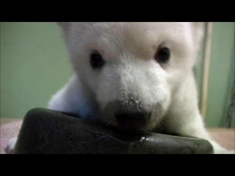 Baby Polar Bear Learns to Walk - YouTube