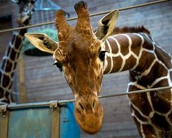 Justice for Marius the giraffe & other zoo animals - The Petition Site