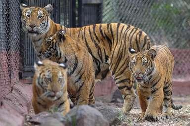トラに自分を食べさせようとした男性を救出、中国の動物園 写真1枚 国際ニュース:AFPBB News