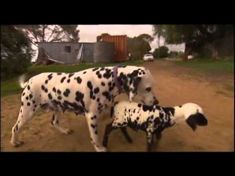 Orphaned Spotted Lamb Adopted by Dalmatian Dog - YouTube