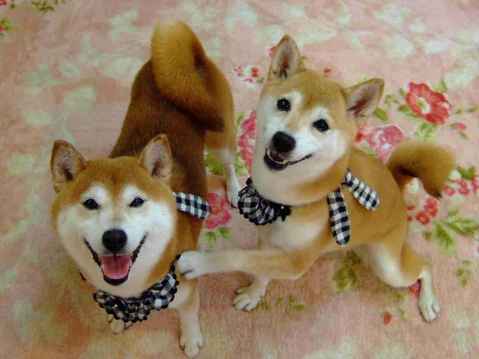 """「なんでやねん!」の始まり 柴犬ひかりといちご Two Shibas """"NANDEYANEN"""" - YouTube"""
