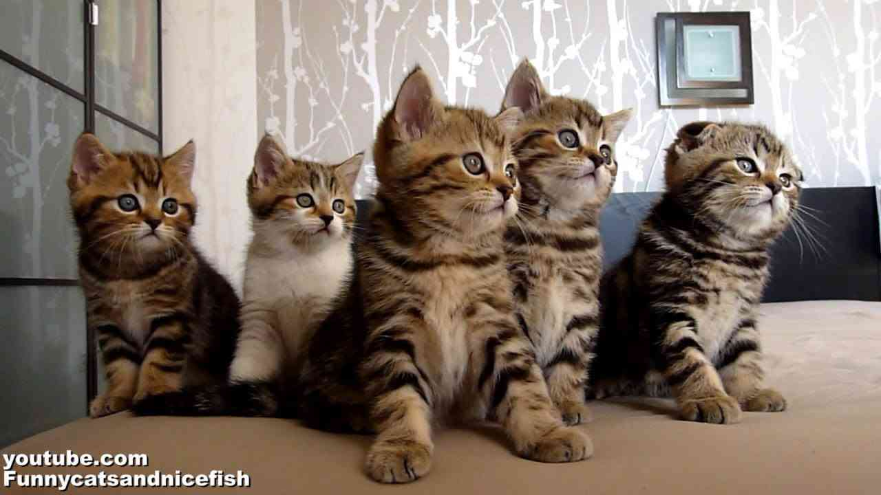 Funny Cats Choir  ( Dancing Chorus Line of Kittens ) - YouTube
