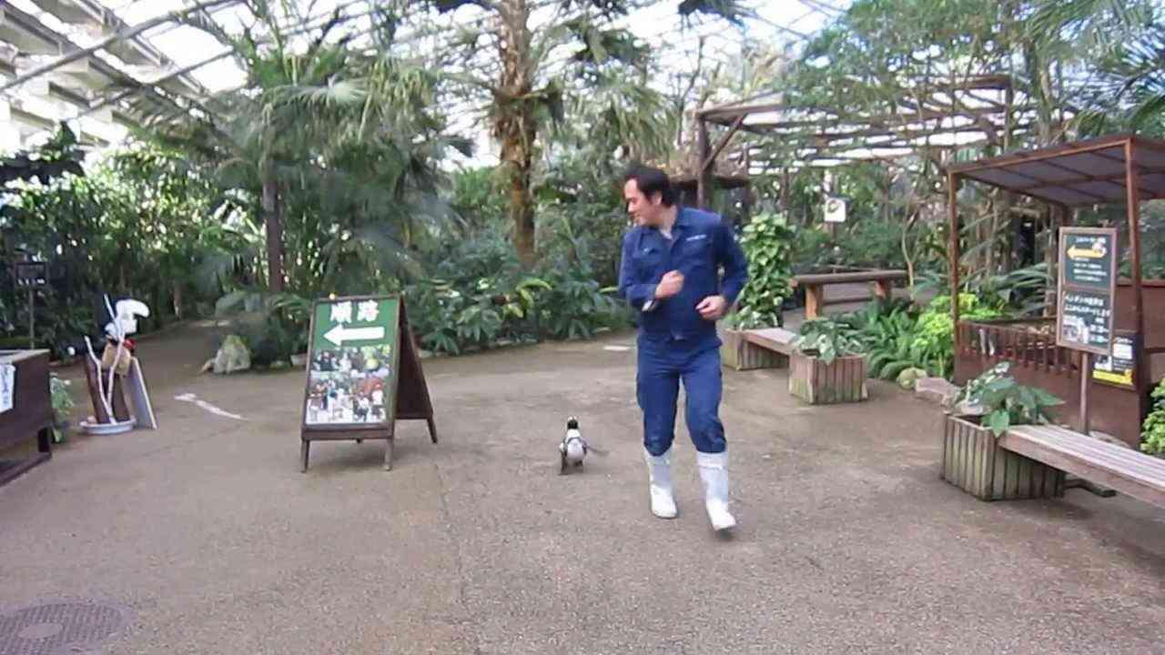 恋するペンギン さくらちゃん - YouTube
