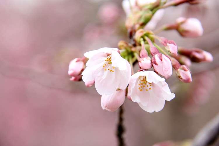 桜の開花予想・開花情報 | 弘前さくらまつり 2014