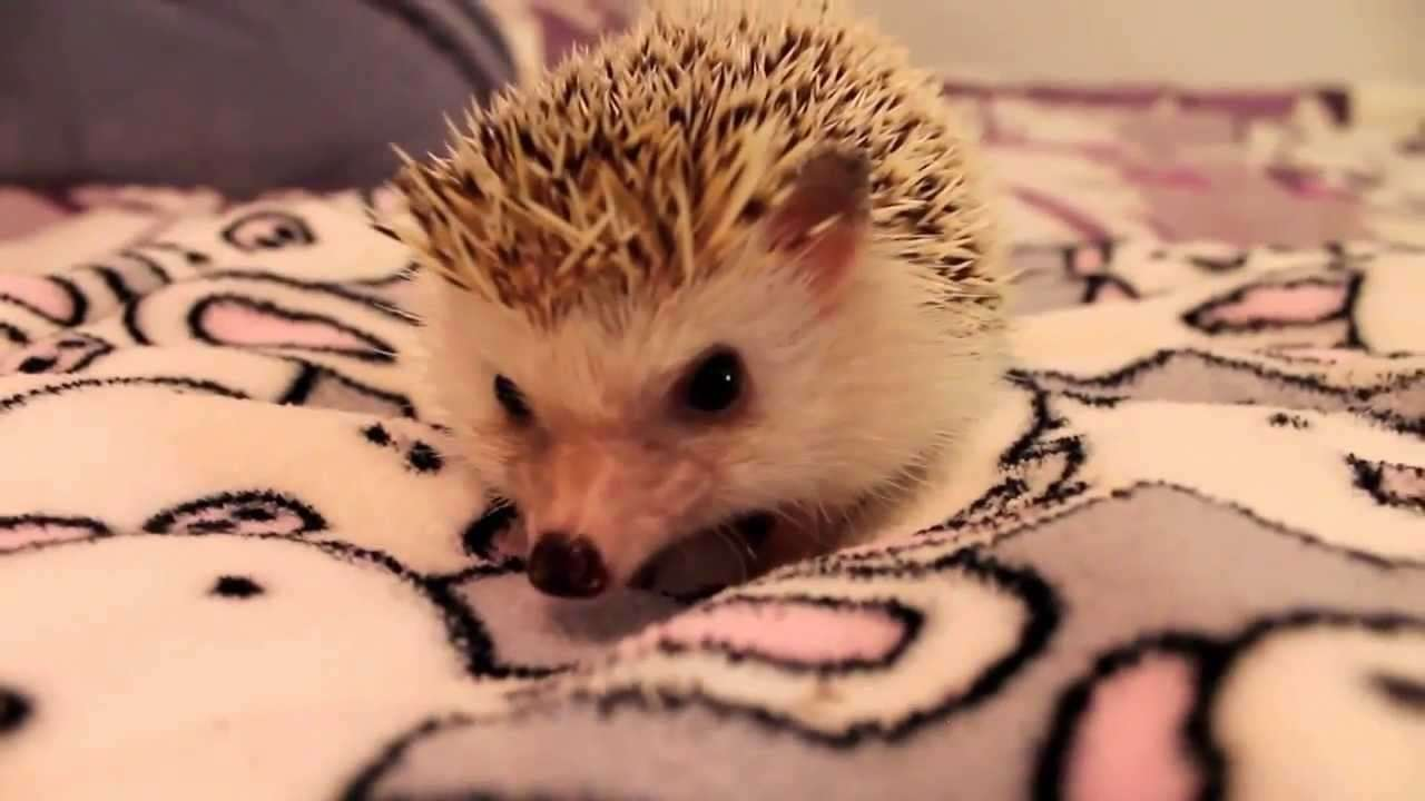 How to Pick Up and Hold a Hedgehog - YouTube