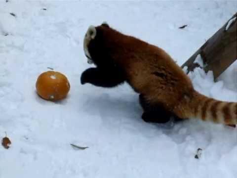 かぼちゃに体当たり☆円山動物園レッサーパンダ - YouTube