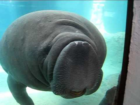 Manatee Face Smush : Original - YouTube