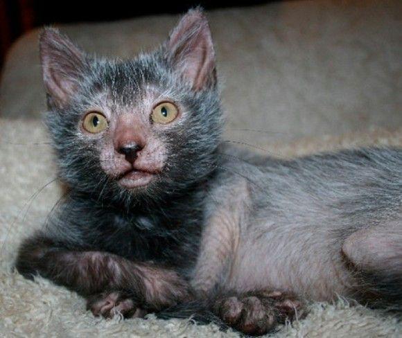 【!?】 ネコに新たなる品種『リュコイ』が誕生! 顔ヤバすぎワロタwwwwwwww : オレ的ゲーム速報@刃