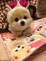 #wankoの注目ツイート - ツイ速クオリティ!!【Twitter】 : 【超キュート】かわいすぎるアイドル犬・俊介君の毎日 - NAVER まとめ