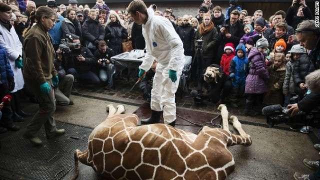 CNN.co.jp : 殺処分のキリン解体を一般公開、死骸はライオンの餌に デンマーク