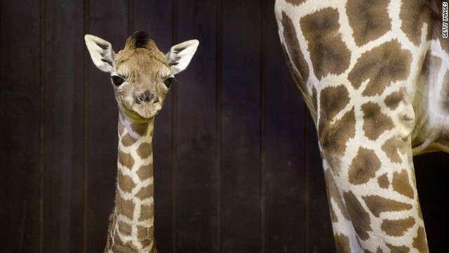 CNN.co.jp : キリン処分の動物園に殺人予告、是非巡る論議白熱 - (1/3)