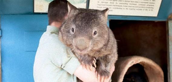 世界最大にして最年長のウォンバット、大きくても抱っこが大好き。 : カラパイア
