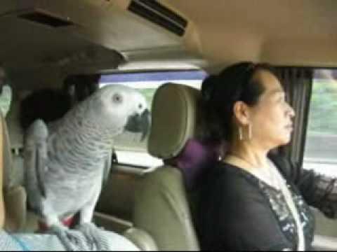 (灰鸚彭彭)坐車好想睡覺覺喔!.wmv - YouTube
