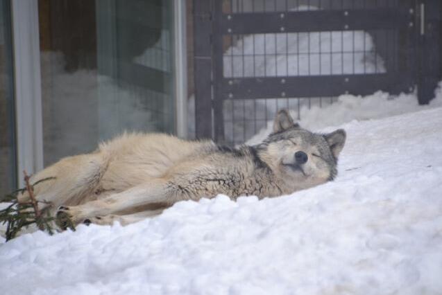 【画像】オオカミの寝姿が可愛いと話題に
