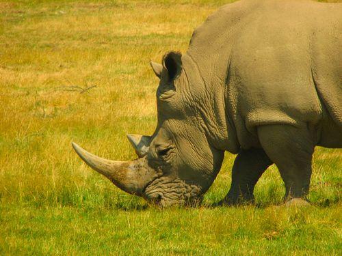中国が「サイの角」「トラの陰茎」その他の絶滅危機の動物を食べることを違法にする …海外の反応:らばQ