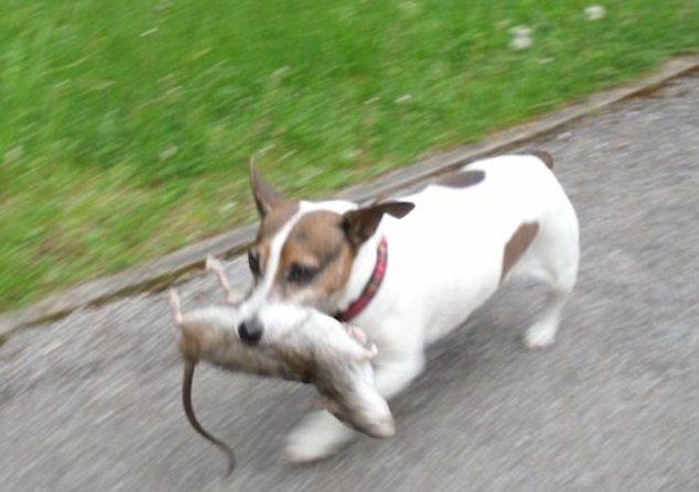 【閲覧注意】突然変異の巨大ネズミ、英国で驚くべき速さで繁殖