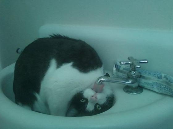 【画像】流し台が好き過ぎる猫達を集めてみたwwwwwwwwwww