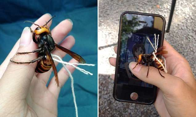 Man 'tames killer Japanese hornet' and keeps it on a bit of string | Mail Online