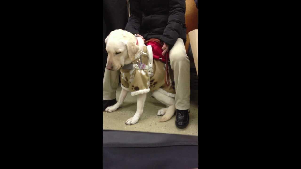 電車に乗ってきた盲導犬の仕草が愛くるしかった(13分撮影) - YouTube