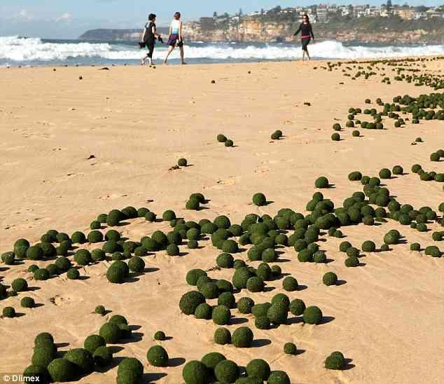 シドニーの海岸に巨大マリモが大量に漂着! → 学者「未確認生物のタマゴだ!!」