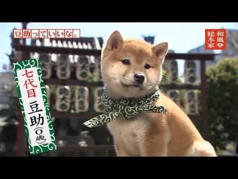 「和風総本家 豆助っていいな。」七代目豆助②/Japanese shibainu - YouTube