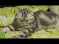 Кошке очень хочется спать : 【腹筋崩壊】10秒で笑える動画まとめ【YouTube】 - NAVER まとめ