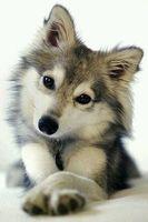 【犬好き必見】小さなハスキー?アラスカン・クリー・カイが可愛い【画像・動画】 - NAVER まとめ