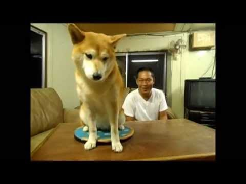 柴犬の拒む瞬間6連パチュー 6 running fire that a dog refuses - YouTube