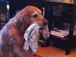 グレートデン犬の胃から靴下、43.5足を緊急摘出