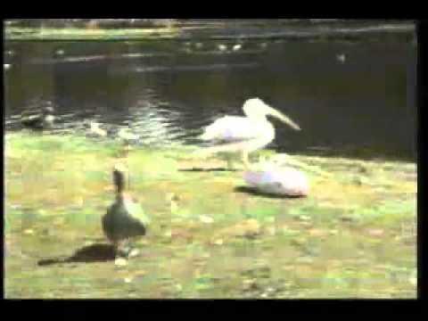 【衝撃】鳥をないないしちゃうペリカン☆ pelican eat bird - YouTube