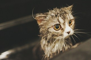 猫の上手な洗い方 | マイナビニュース