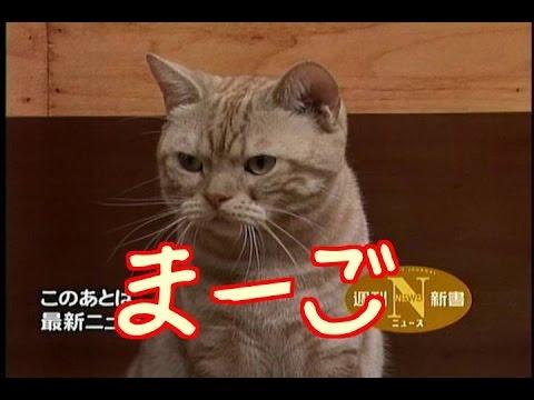 テレ東のニュース番組のアイドル猫「まーご」が自由すぎてヤバい - YouTube