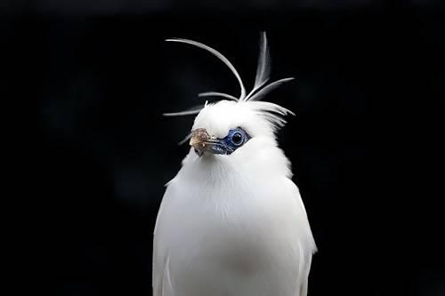 この文鳥のアホ毛がかわいすぎるwww