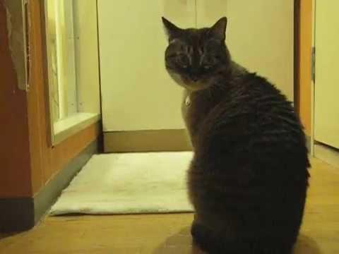 これはカワイイ!ジャンくんがパパのお風呂をのぞく 元野良猫の保護里親記録  Jean, a former stray cat. - YouTube